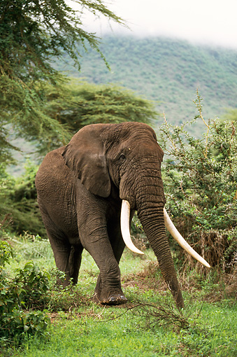 AFW 04 DB0001 01 © Kimball Stock African Elephant Walking Through Bush