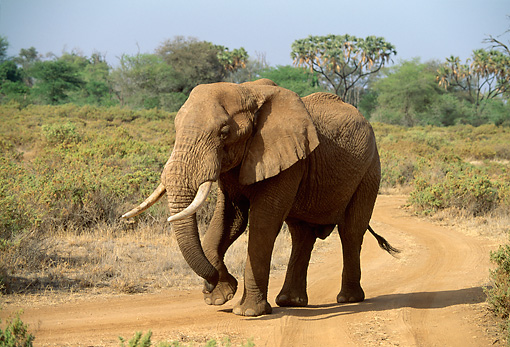 AFW 04 DB0004 01 © Kimball Stock African Elephant Walking Through Bush On Dirt Path