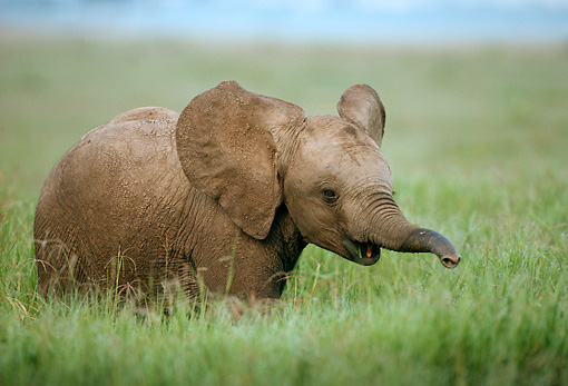 AFW 04 DB0007 01 © Kimball Stock African Elephant Calf Standing In Tall Grass