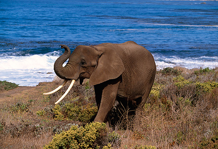 AFW 04 RK0022 03 © Kimball Stock Elephant Standing By Ocean