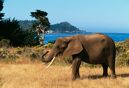 AFW 04 RK0062 06 © Kimball Stock Profile Shot Of Elephant Walking On Dry Grass Ocean Background