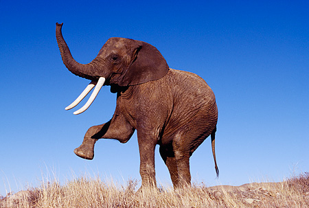 AFW 04 RK0077 05 © Kimball Stock Elephant Posing On Dry Grass