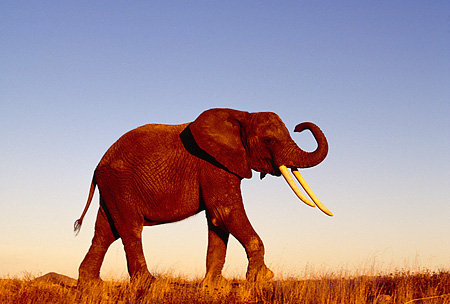 AFW 04 RK0089 03 © Kimball Stock Profile Shot Of Elephant Walking On Dry Field Blue Sky