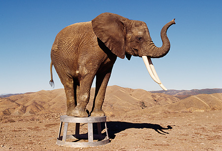 AFW 04 RK0097 03 © Kimball Stock Elephant Standing On Stool Posing