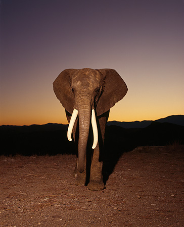 AFW 04 RK0104 05 © Kimball Stock Elephant Walking On Dirt At Dusk