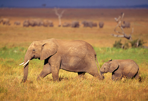 AFW 04 TL0001 01 © Kimball Stock African Elephant With Young Walking
