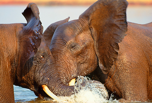 AFW 04 TL0003 01 © Kimball Stock Two African Elephant Bulls Sparring In Water