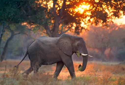 AFW 04 TL0005 01 © Kimball Stock Profile Of African Elephant Bull Walking At Sunrise