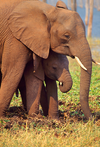 AFW 04 TL0007 01 © Kimball Stock African Elephant Calf Staying Close To Mom