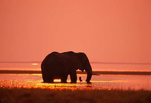 AFW 04 TL0010 01 © Kimball Stock African Elephant Feeding In Water At Sunset