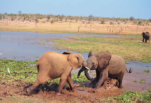 AFW 04 TL0012 01 © Kimball Stock Young African Elephants Playing