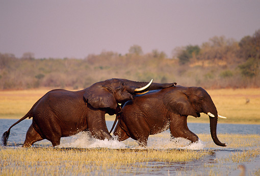 AFW 04 TL0014 01 © Kimball Stock African Elephant Bulls Sparring In Water