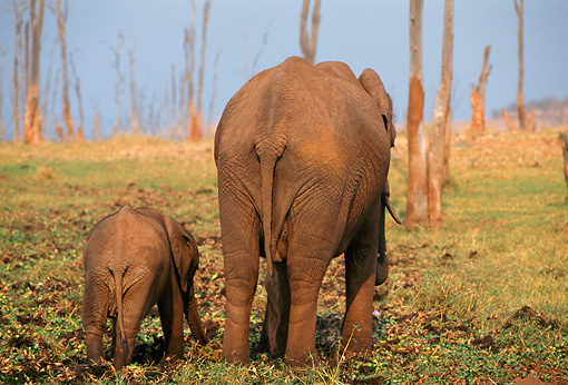AFW 04 TL0018 01 © Kimball Stock African Elephants Cow And Calf Rear View