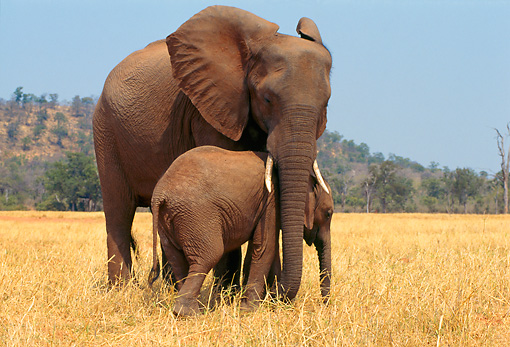 AFW 04 TL0019 01 © Kimball Stock African Elephant Calf Staying Close To Mother