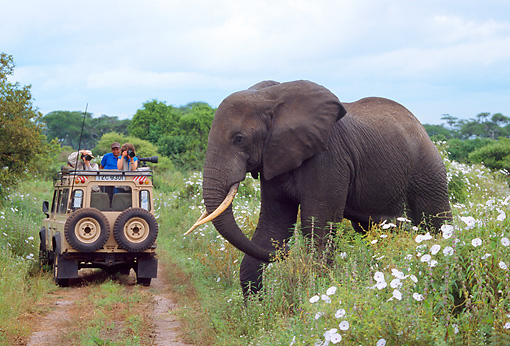 AFW 04 TL0023 01 © Kimball Stock African Elephant By Safari Vehicle