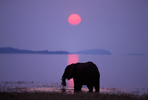 AFW 04 TL0030 01 © Kimball Stock Silhouette Of African Elephant Grazing At Edge Of Lake Sunset Africa