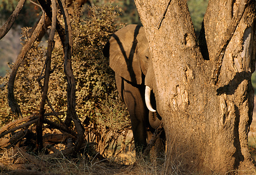 AFW 04 TL0031 01 © Kimball Stock African Elephant Bull Standing Behind Tree Africa