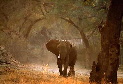 AFW 04 TL0032 01 © Kimball Stock African Elephant Bull Standing In Clearing In Forest Africa