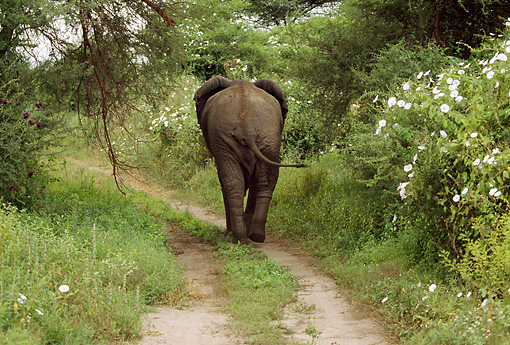 AFW 04 TL0034 01 © Kimball Stock Rear View Of African Elephant Walking Along Path In Forest Africa