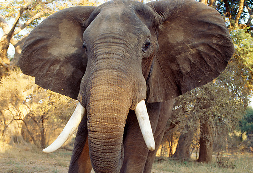 AFW 04 TL0037 01 © Kimball Stock African Elephant Bull Approaching Camera In Forest Africa