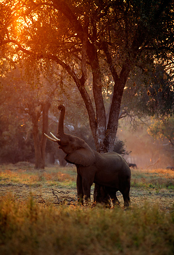 AFW 04 TL0040 01 © Kimball Stock African Elephant Bull Feeding In Woodland Morning Africa