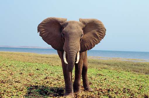 AFW 04 TL0042 01 © Kimball Stock African Elephant Bull Approaching Camera At Lakeshore Africa