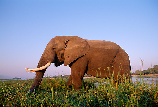AFW 04 TL0044 01 © Kimball Stock Profile Of African Elephant Bull Walking In River Grass Zambezi River Africa