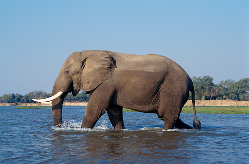 AFW 04 TL0045 01 © Kimball Stock Profile Of African Elephant Bull Wading In River Zambezi River Africa