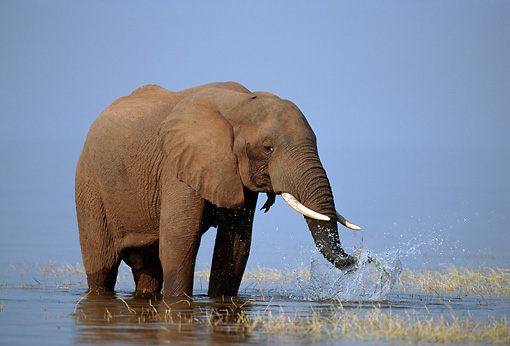 AFW 04 TL0046 01 © Kimball Stock African Elephant Bull Feeding At Edge Of Lake Africa