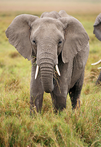 AFW 04 TL0047 01 © Kimball Stock African Elephant Bull Grazing In Grass Africa