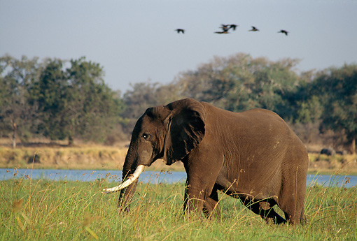 AFW 04 TL0048 01 © Kimball Stock Profile Of African Elephant Bull Standing In River Grass Zambezi River Africa