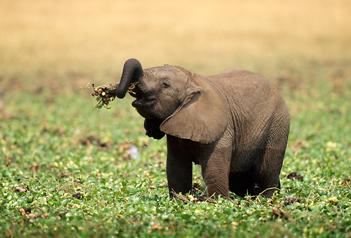 AFW 04 TL0051 01 © Kimball Stock Young African Elephant Playing In River Grass Africa