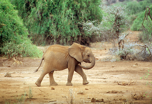 AFW 04 TL0052 01 © Kimball Stock Profile Of Young African Elephant Walking On Dirt By Trees Africa