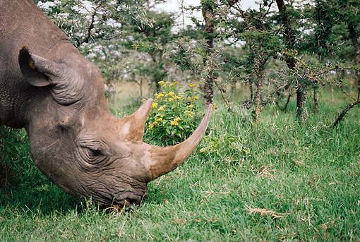 AFW 05 BA0001 01 © Kimball Stock Head Shot Of Black Rhino Grazing On Grass Profile