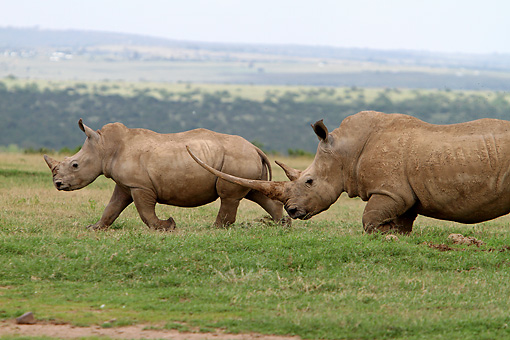 AFW 05 DB0010 01 © Kimball Stock Close-Up Of White Rhinoceros Adult With Young Walking On Savanna