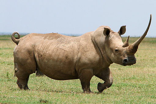 AFW 05 DB0012 01 © Kimball Stock White Rhinoceros Standing On Savanna Profile
