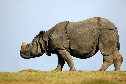 AFW 05 GL0001 01 © Kimball Stock Indian Rhinoceros Standing In Grassland