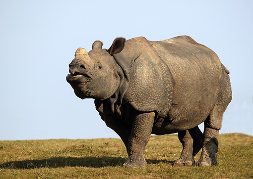 AFW 05 GL0002 01 © Kimball Stock Indian Rhinoceros Standing In Grassland