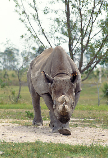 AFW 05 GL0003 01 © Kimball Stock Black Rhinoceros Walking In Grassland