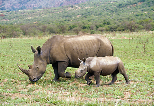 AFW 05 GL0005 01 © Kimball Stock White Rhinoceros Walking On Grassland With Young