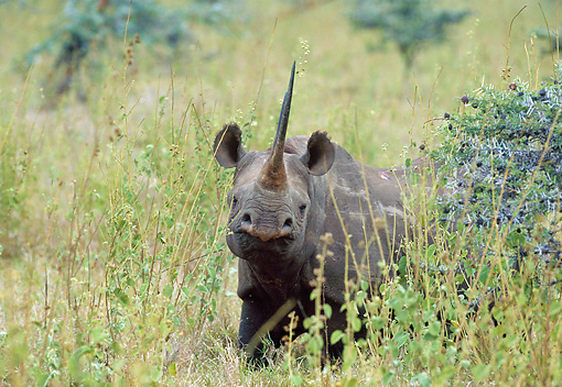 AFW 05 GL0008 01 © Kimball Stock Black Rhinoceros Walking Through Grassland Kenya