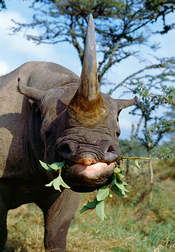 AFW 05 GL0010 01 © Kimball Stock Portrait Of Black Rhinoceros Eating Leaves On Savanna
