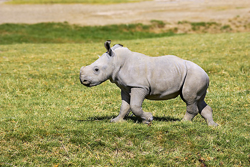 AFW 05 GL0012 01 © Kimball Stock White Rhinoceros Calf Walking On Grass Kenya