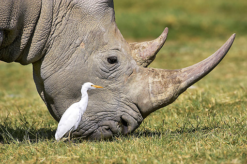 AFW 05 GL0013 01 © Kimball Stock White Rhinoceros Female And Cattle Egret In Grassland Kenya