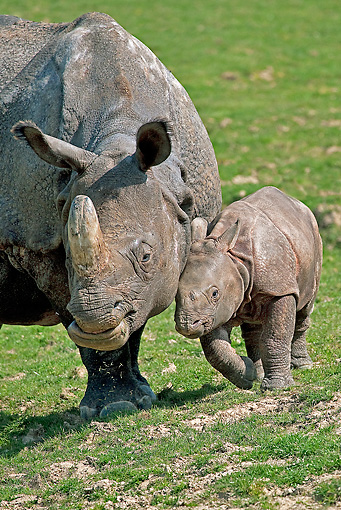 AFW 05 GL0015 01 © Kimball Stock Portrait Of Indian Rhinoceros Mother Standing With Calf On Grass
