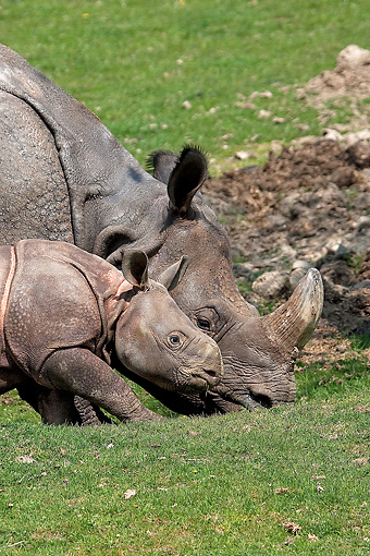 AFW 05 GL0016 01 © Kimball Stock Portrait Of Indian Rhinoceros Mother Grazing With Calf On Grass