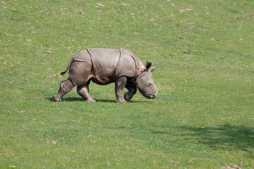 AFW 05 GL0017 01 © Kimball Stock Indian Rhinoceros Calf   Walking On Grass