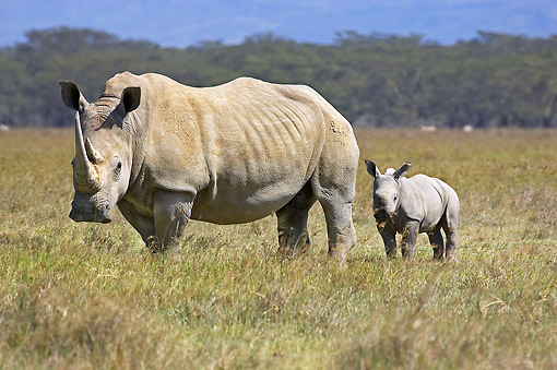 AFW 05 GL0020 01 © Kimball Stock White Rhinoceros Female Walking With Calf In Savanna At Nakuru Park, Kenya