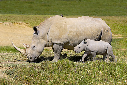 AFW 05 GL0023 01 © Kimball Stock White Rhinoceros And Calf Walking Through Nakuru Park, Kenya