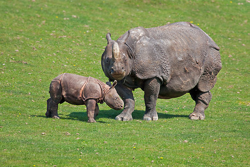 AFW 05 GL0024 01 © Kimball Stock Indian Rhinoceros Mother Standing On Grass With Calf